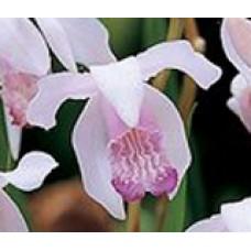 """Bletilla striata """"roseum"""" - 3"""" pots"""
