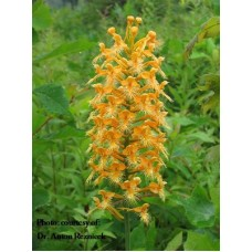 Platanthera ciliaris - Orange fringed orchid-04