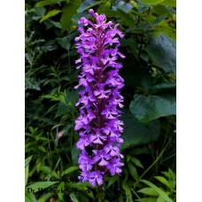 Platanthera psycodes - small purple fringed orchid
