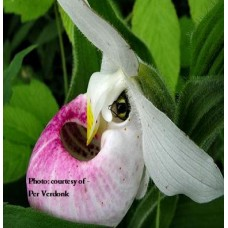 Lady Slipper Orchids - Cypripedium reginae-05