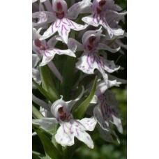 Dactylorhiza fuschii - orchid